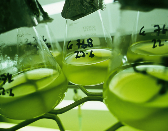 A close up image of 5 flasks on a rack, containing a transluscent, cloudy green liquid. The flasks have black handwritten numbers on them and foil caps.